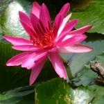こちらは本物の、蓮の葉の上で悟りを開こうとしているカエル。